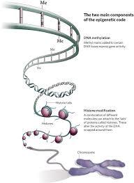 http://embryology.med.unsw.edu.au/MolDev/epigenetic.htm
